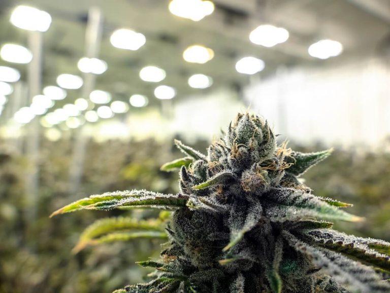 exclusive cannabis garden