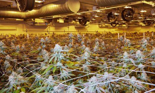 210528-cannabis-grow-room-se-443p